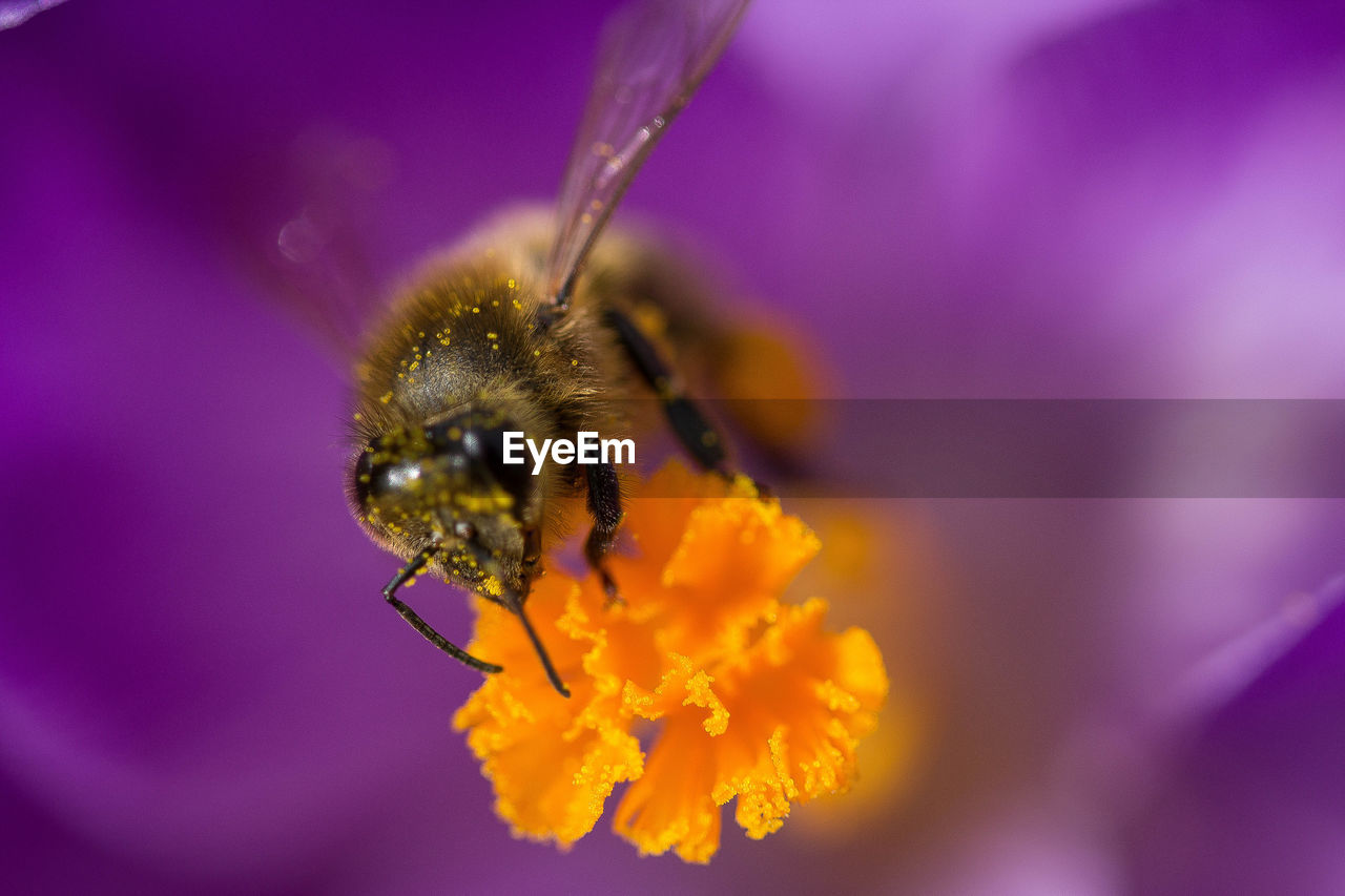 flowering plant, flower, invertebrate, insect, animal themes, beauty in nature, petal, animals in the wild, flower head, animal, one animal, fragility, animal wildlife, freshness, bee, plant, vulnerability, close-up, pollination, growth, purple, pollen, no people, bumblebee