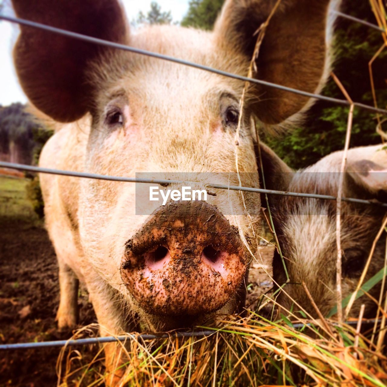 Portrait Of Pig Looking Through Fence At Farm