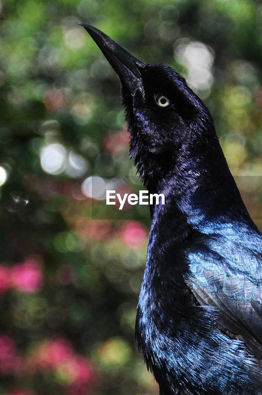 Close-up portrait of a blackbird
