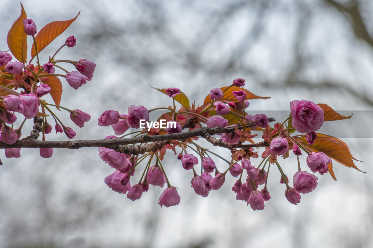 plant, flower, flowering plant, growth, beauty in nature, pink color, freshness, tree, close-up, focus on foreground, nature, vulnerability, branch, petal, fragility, no people, day, springtime, blossom, flower head, outdoors, cherry tree, cherry blossom