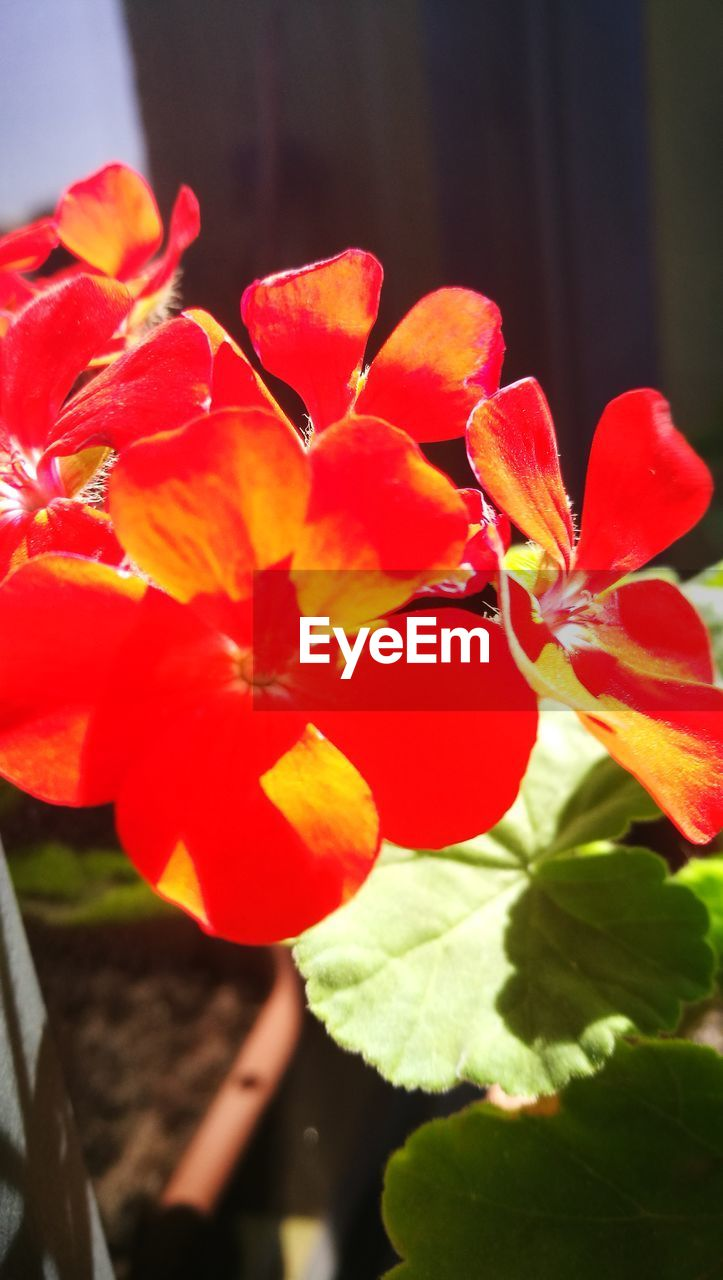 flowering plant, flower, plant, beauty in nature, growth, freshness, close-up, vulnerability, red, fragility, petal, inflorescence, flower head, nature, plant part, leaf, day, no people, focus on foreground, outdoors, pollen, orange