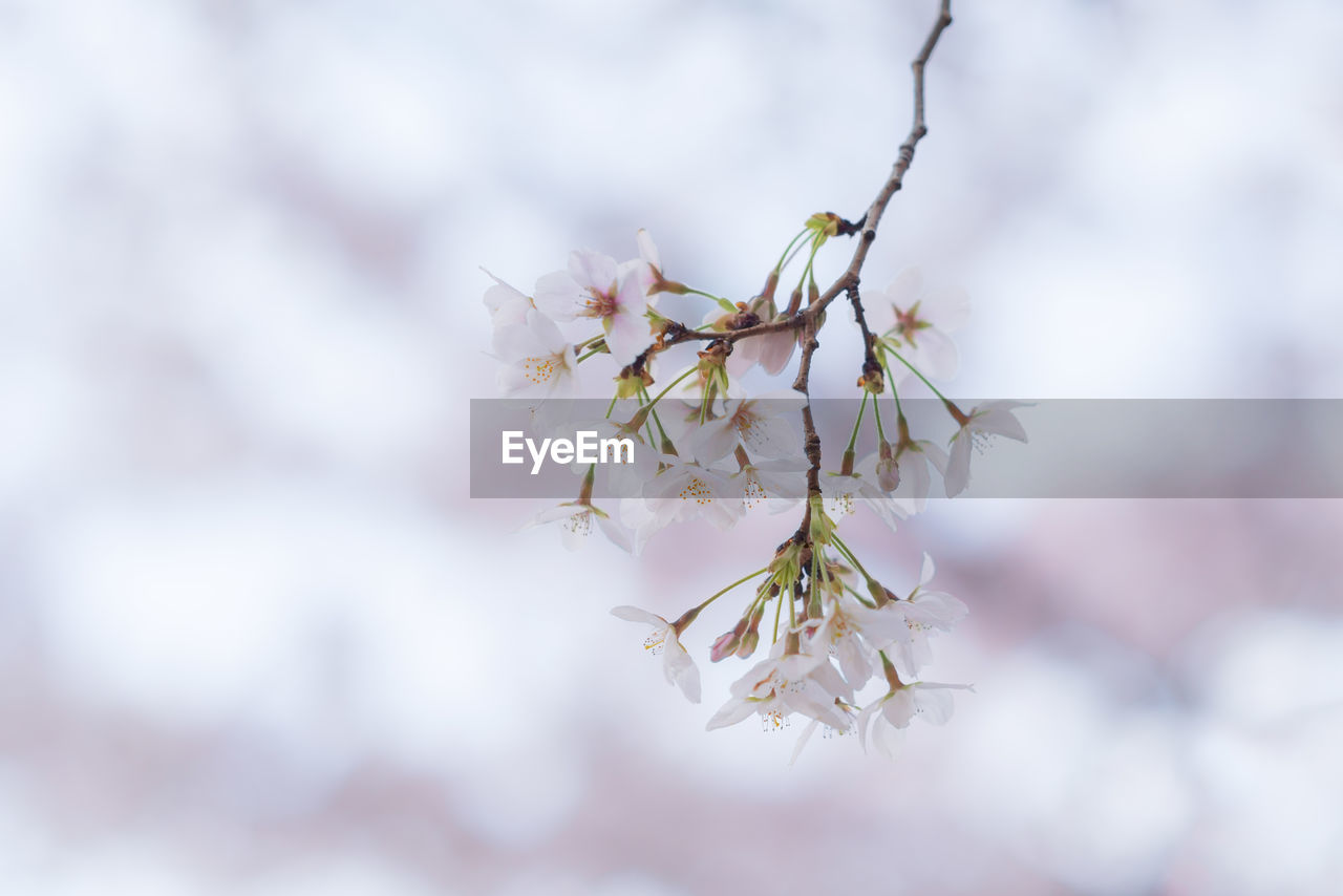 CLOSE-UP OF WHITE CHERRY BLOSSOM ON BRANCH