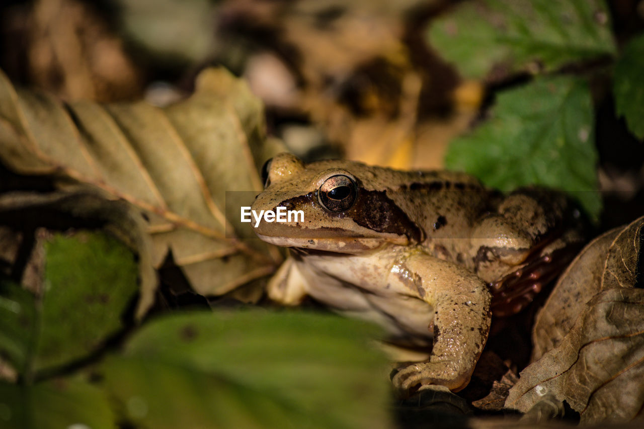 animal themes, animal, animal wildlife, amphibian, animals in the wild, vertebrate, one animal, leaf, frog, plant part, no people, close-up, reptile, selective focus, nature, day, plant, green color, looking, leaves