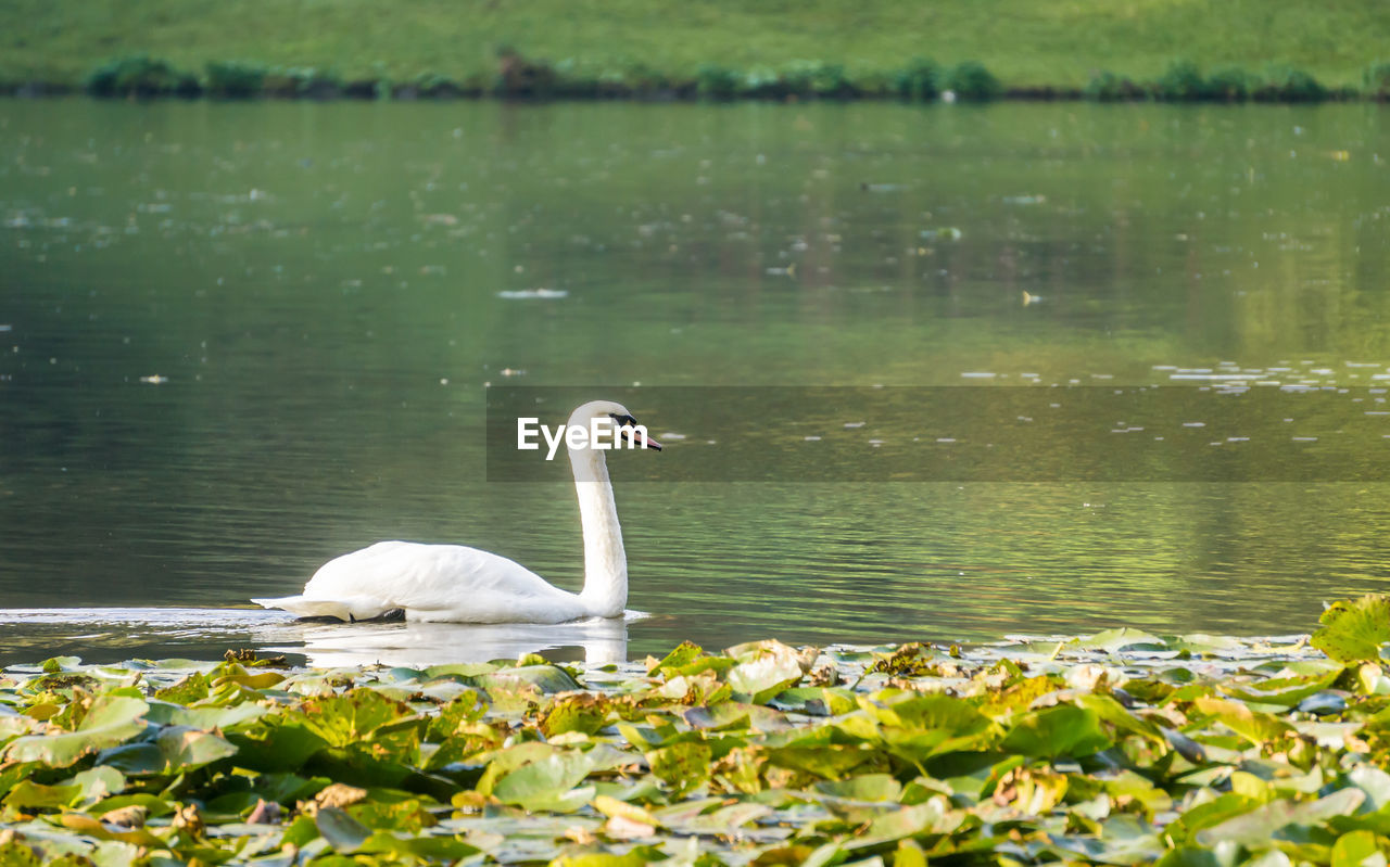 water, animals in the wild, animal themes, bird, animal wildlife, animal, vertebrate, lake, one animal, swan, nature, day, beauty in nature, no people, swimming, white color, water bird, plant, side view, floating on water