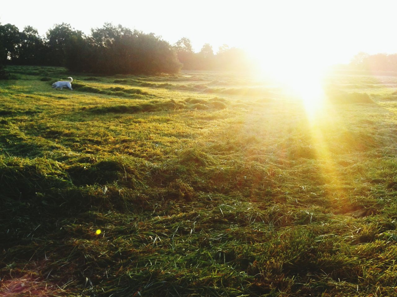 Dog In Meadow In Sunlight