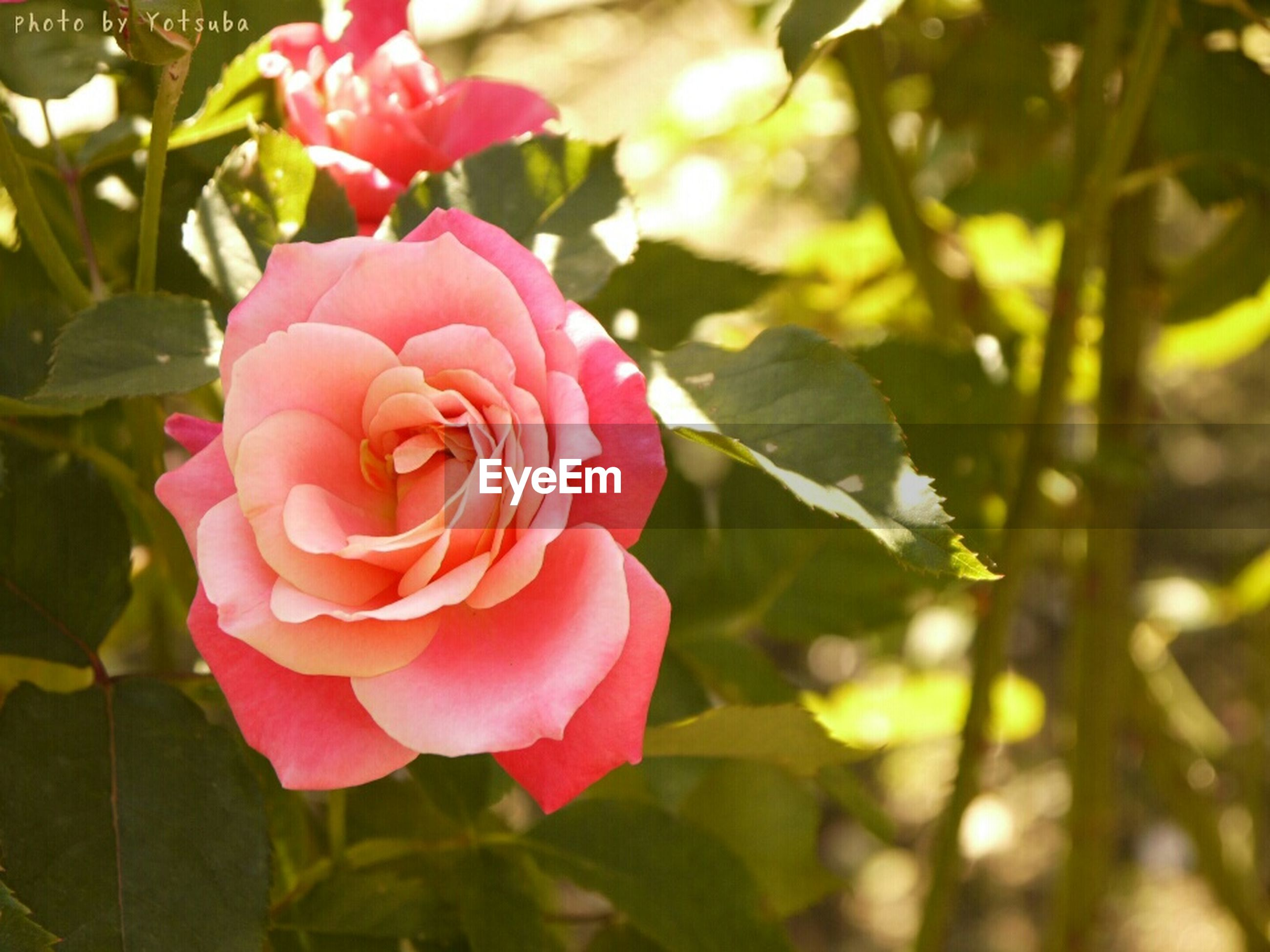 flower, petal, freshness, fragility, growth, flower head, beauty in nature, leaf, close-up, pink color, blooming, focus on foreground, plant, nature, rose - flower, in bloom, park - man made space, day, blossom, red