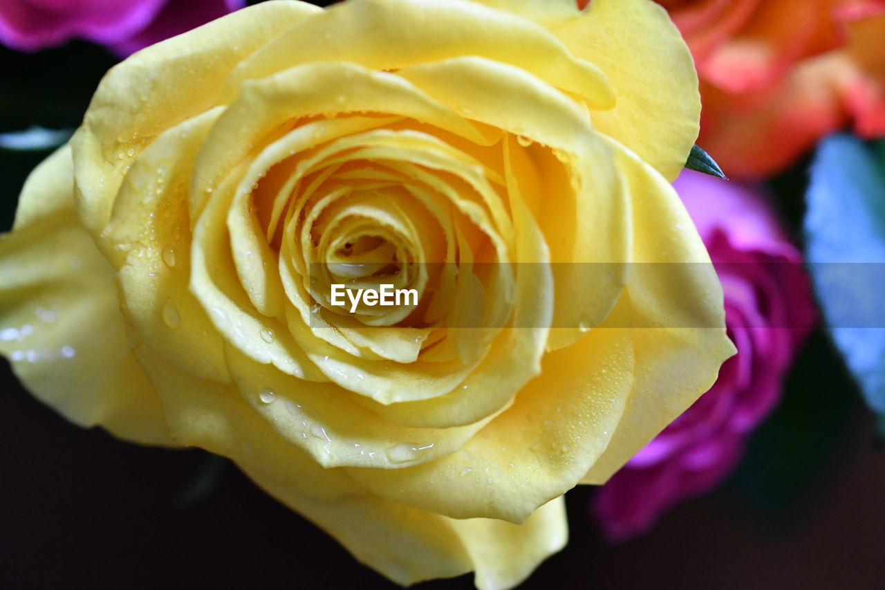 flower, petal, beauty in nature, freshness, flower head, nature, rose - flower, fragility, growth, blooming, yellow, plant, close-up, outdoors, springtime, no people, day