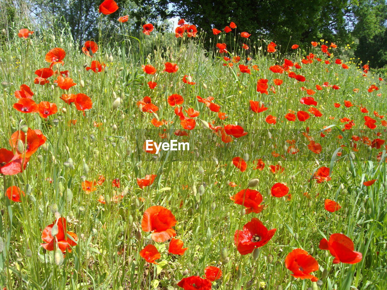 nature, flower, growth, poppy, red, beauty in nature, field, plant, grass, freshness, petal, day, summer, fragility, outdoors, no people, blooming, flower head, close-up