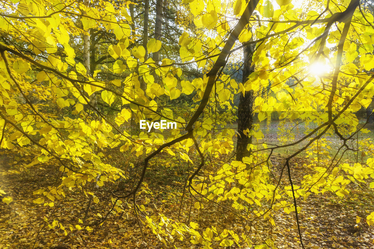 yellow, tree, plant, branch, beauty in nature, growth, nature, no people, plant part, sunlight, leaf, day, tranquility, outdoors, forest, autumn, full frame, low angle view, backgrounds, land, change, leaves