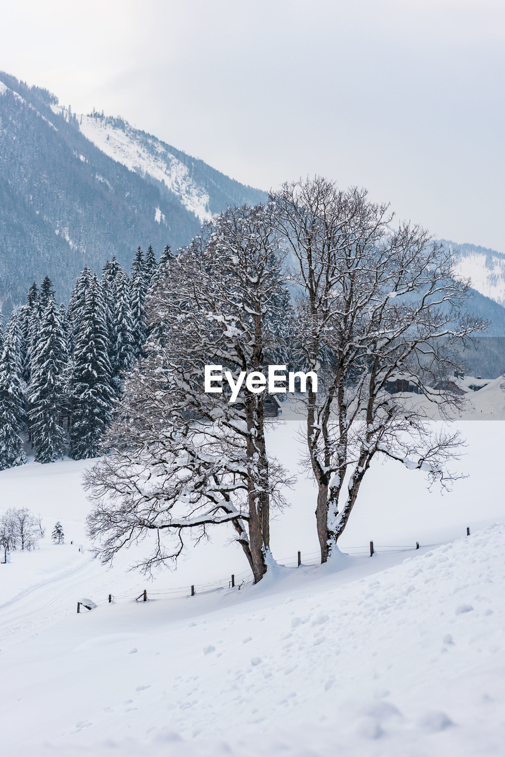 Twin trees and winter mountain landscape in the alps.