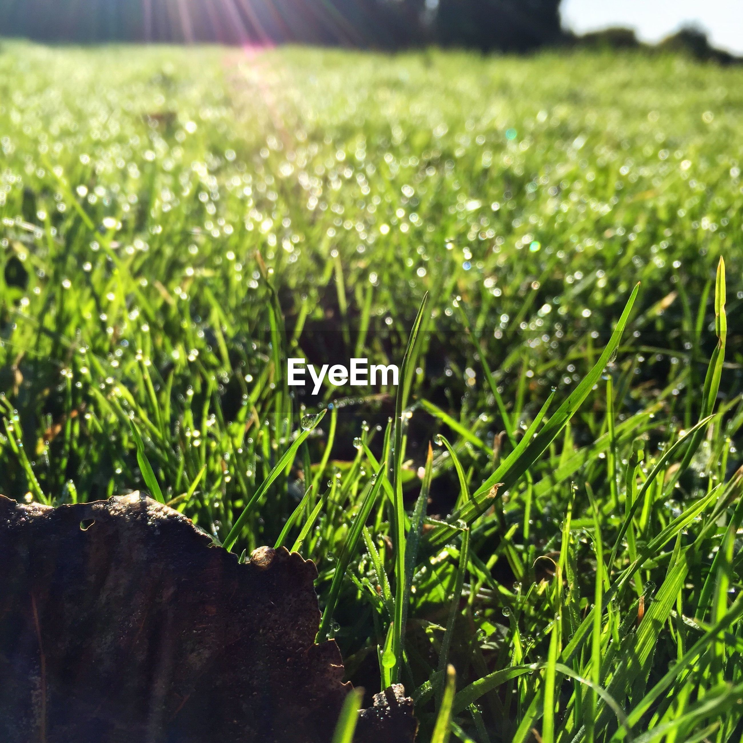CLOSE-UP OF WET GRASS GROWING IN GRASSY FIELD