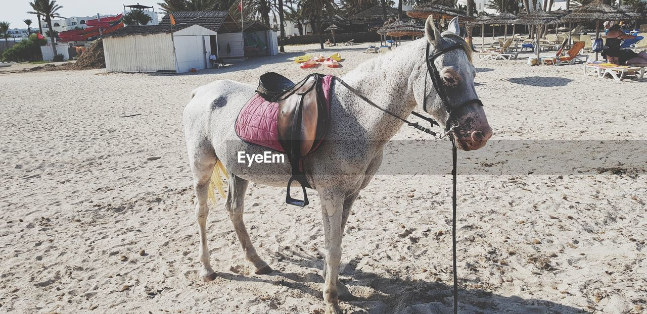 domestic animals, animal themes, horse, mammal, working animal, one animal, day, outdoors, horse cart, field, livestock, sand, no people