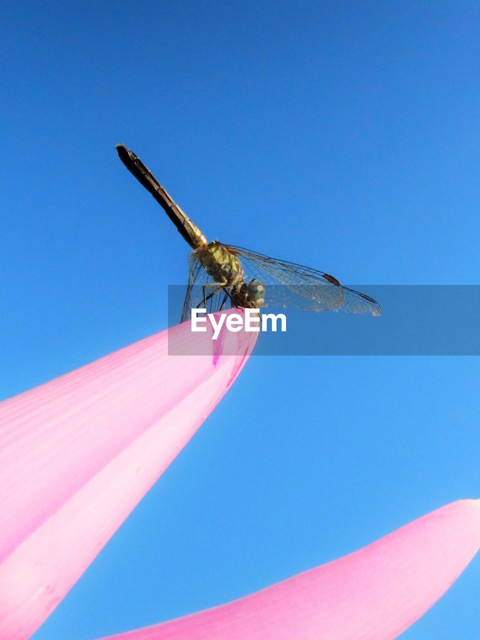 blue, one animal, clear sky, sky, animal themes, animals in the wild, animal, day, insect, animal wildlife, invertebrate, nature, close-up, copy space, low angle view, pink color, animal wing, outdoors, no people, sunlight