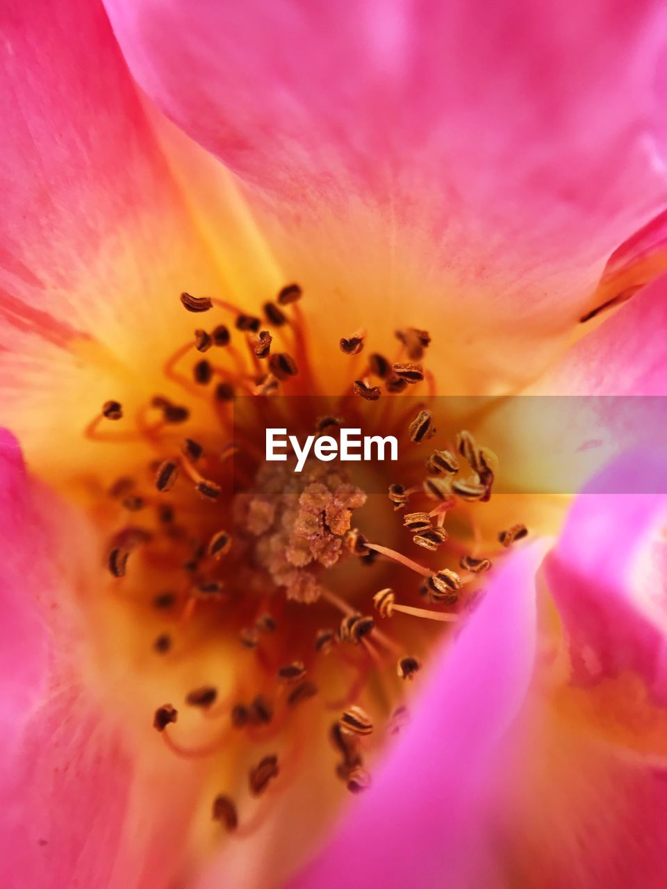 flowering plant, flower, petal, fragility, vulnerability, pollen, freshness, flower head, inflorescence, beauty in nature, plant, growth, close-up, stamen, full frame, extreme close-up, macro, backgrounds, pink color, no people, outdoors, purple, springtime, soft focus, spring