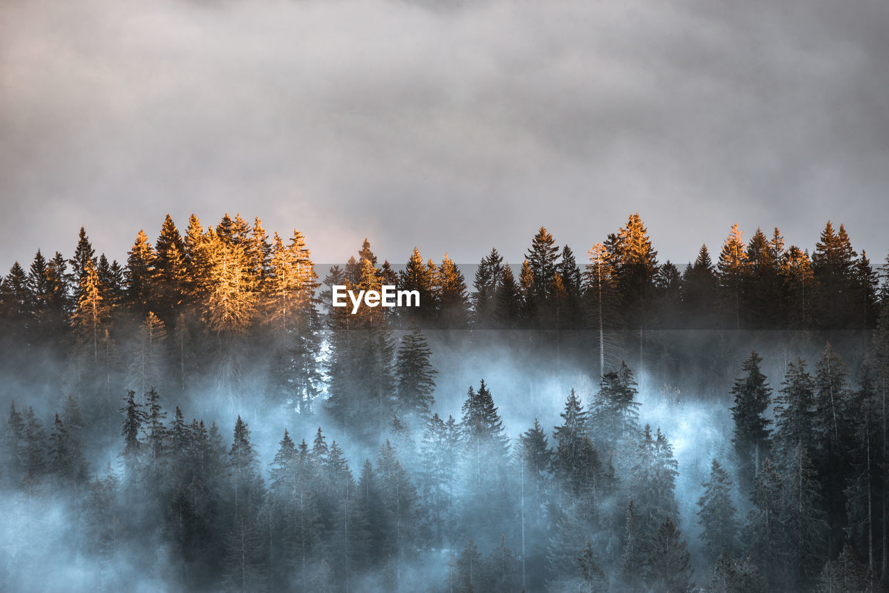 PANORAMIC SHOT OF TREES AGAINST SKY IN FOREST