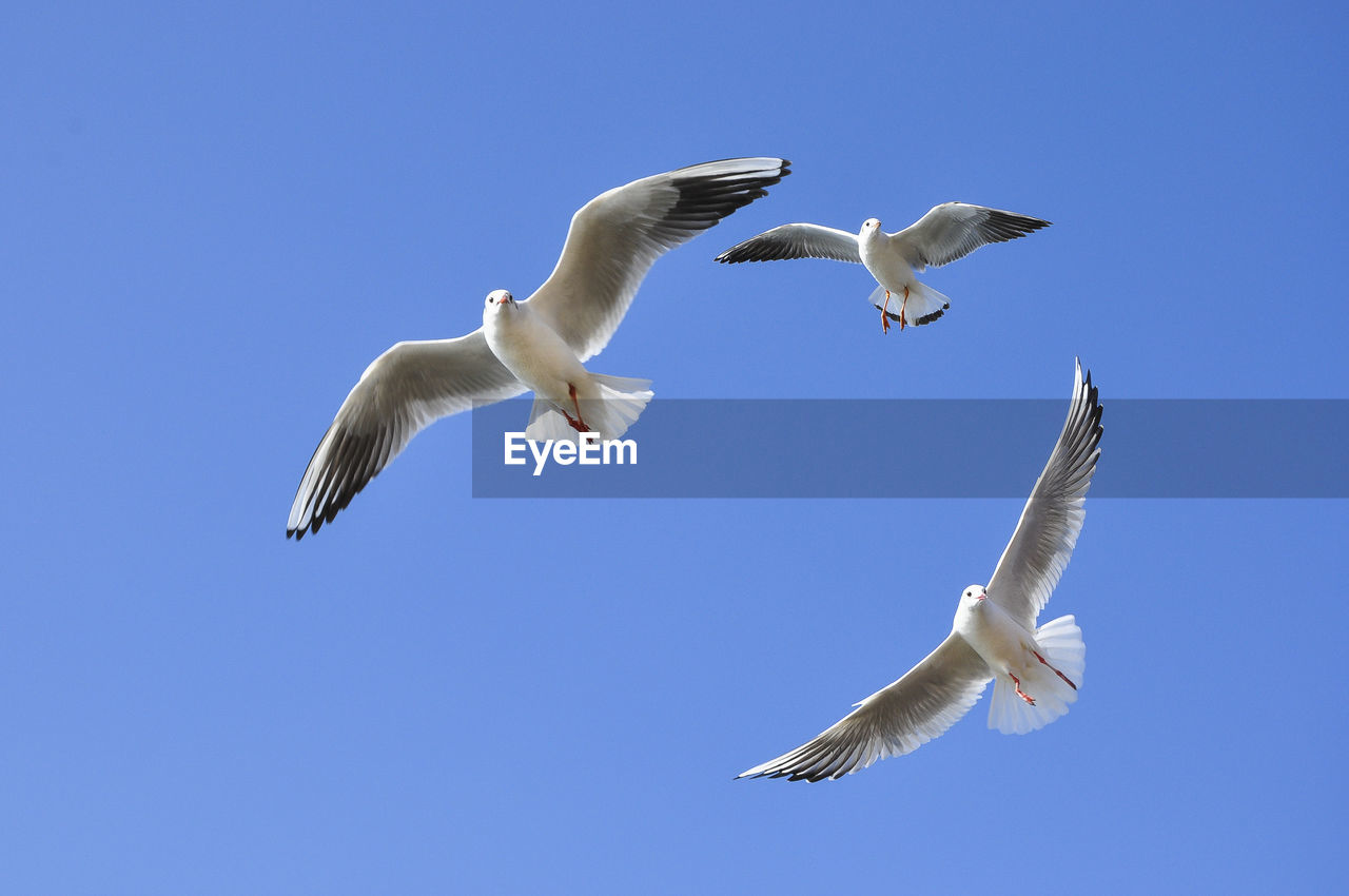 animal wildlife, flying, vertebrate, bird, animals in the wild, animal themes, spread wings, animal, sky, blue, low angle view, clear sky, group of animals, seagull, mid-air, nature, no people, day, white color, two animals