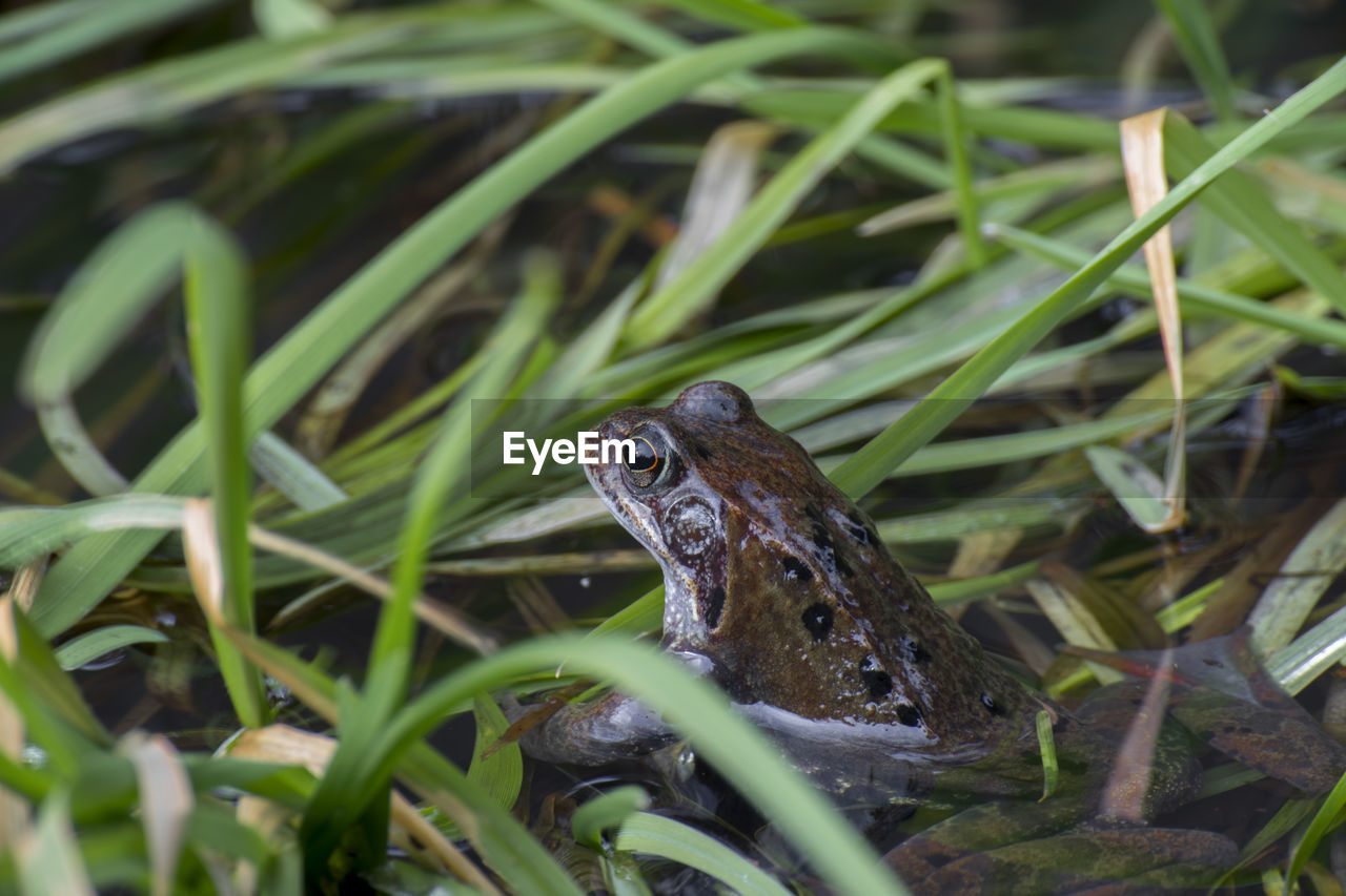 animal wildlife, animal themes, animal, animals in the wild, one animal, vertebrate, amphibian, reptile, plant, frog, nature, no people, selective focus, green color, grass, day, growth, close-up, outdoors, water, animal head, blade of grass, animal eye