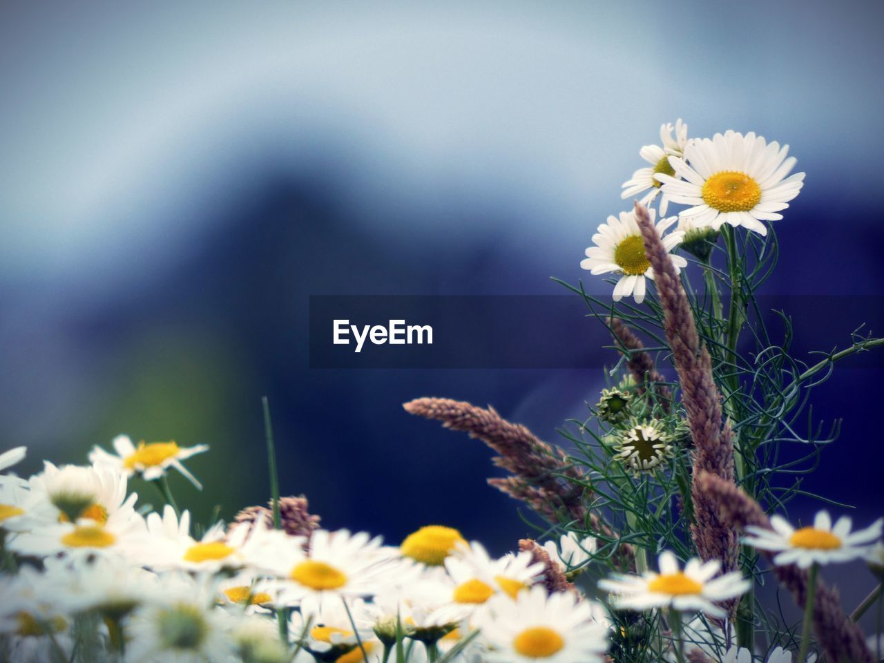 flowering plant, flower, plant, freshness, vulnerability, fragility, beauty in nature, growth, petal, flower head, nature, close-up, selective focus, yellow, inflorescence, daisy, no people, day, pollen, field, outdoors, springtime
