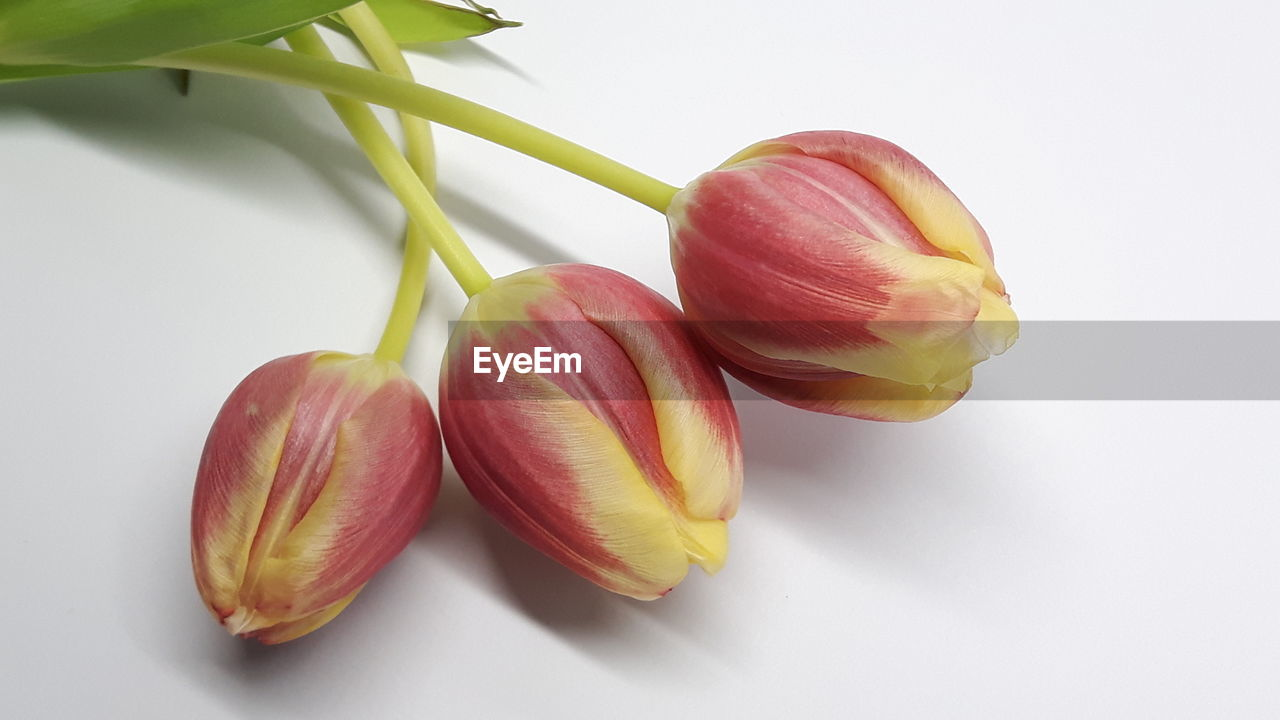 Close-up of tulips over white background