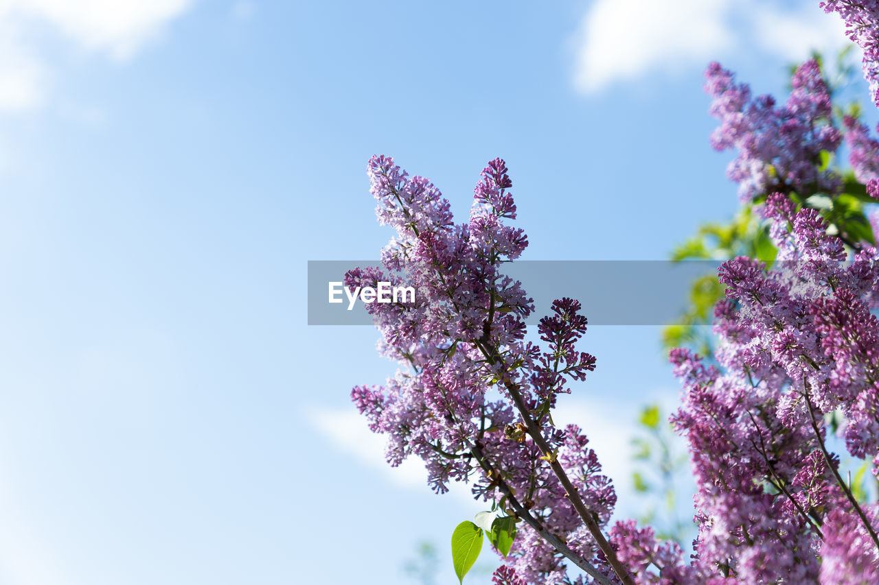 flower, flowering plant, plant, fragility, growth, freshness, vulnerability, beauty in nature, sky, pink color, nature, low angle view, day, blossom, tree, purple, springtime, no people, close-up, lilac, outdoors, flower head, spring, cherry blossom, cherry tree