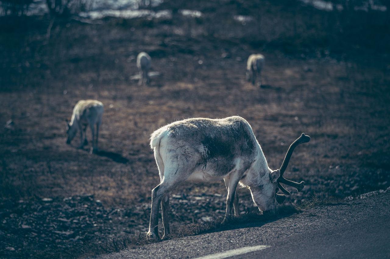 Reindeers Grazing On Field