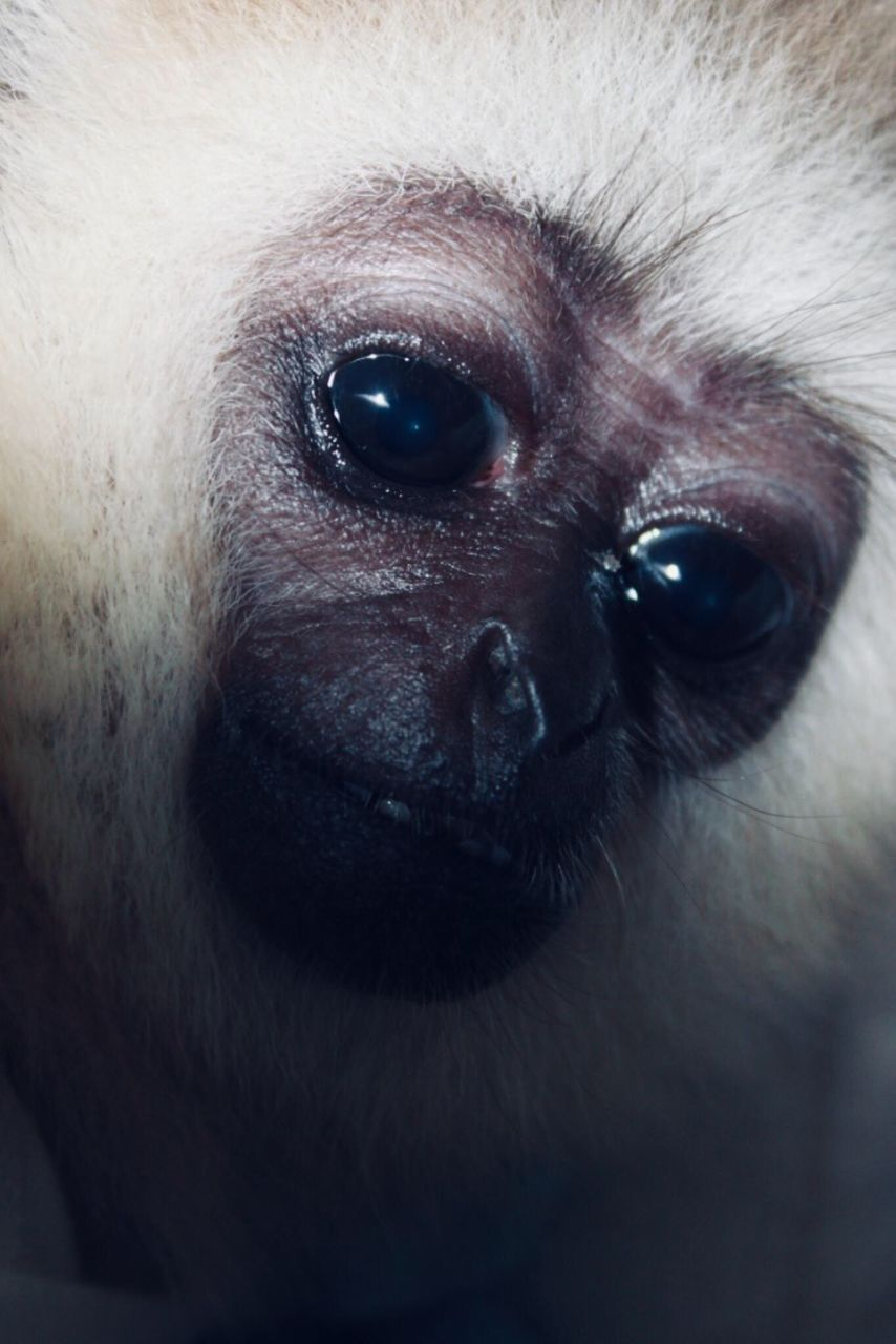 one animal, animal, close-up, animal themes, mammal, animal body part, looking at camera, animal head, vertebrate, portrait, no people, primate, eye, domestic, pets, domestic animals, monkey, canine, dog, animal eye, animal nose, eyebrow
