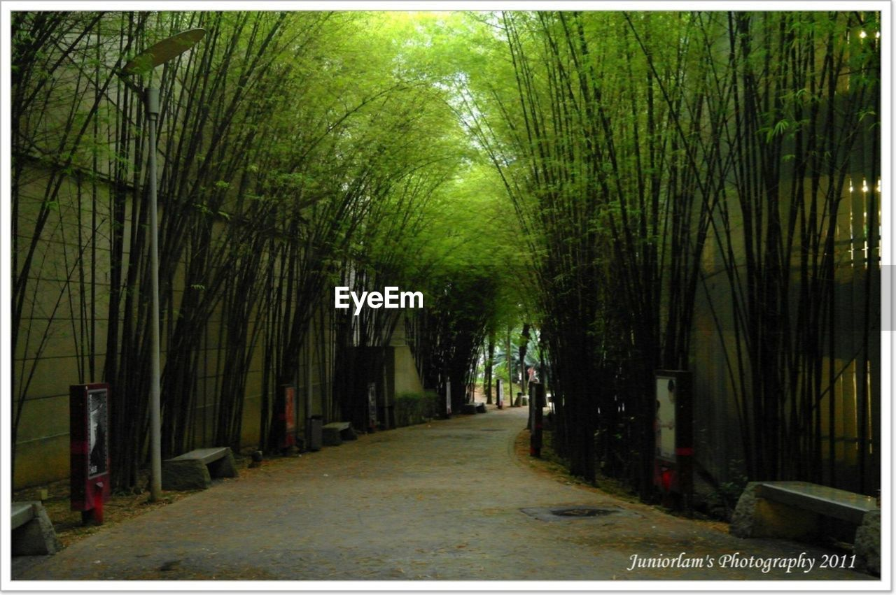 nature, tree, bamboo grove, bamboo - plant, outdoors, no people, day