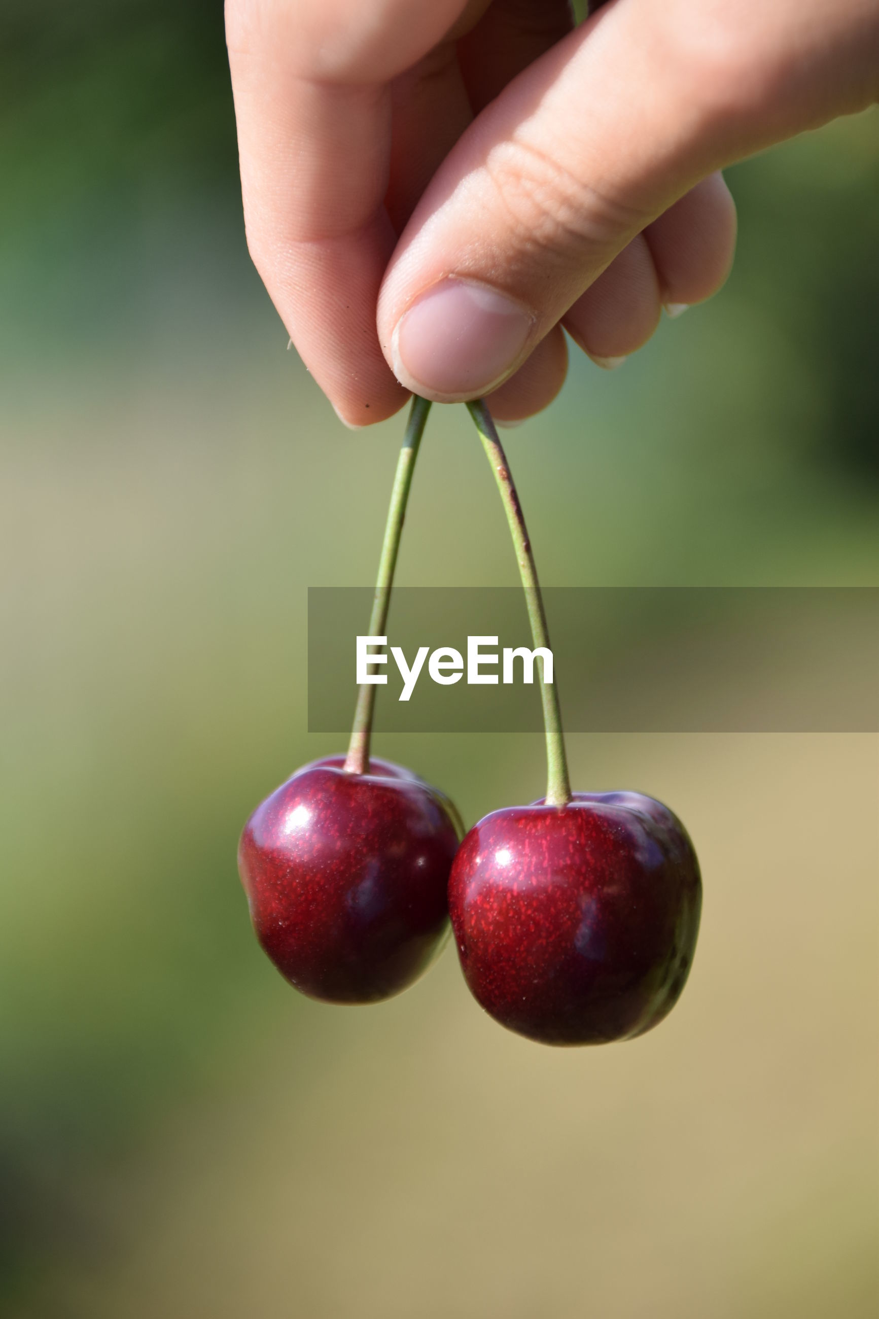 Close-up of cropped hand holding cherries
