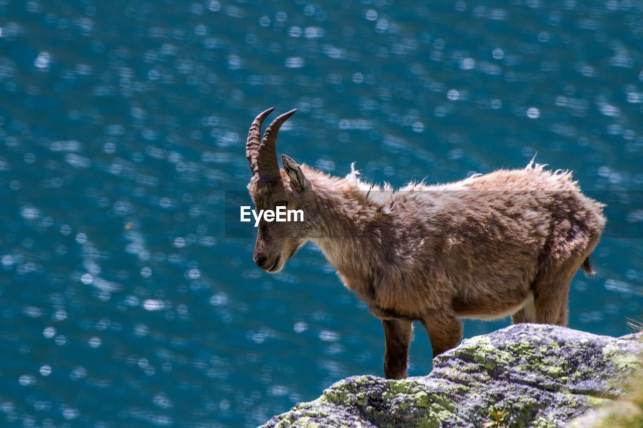 Ibex Standing On Rock Against Lake