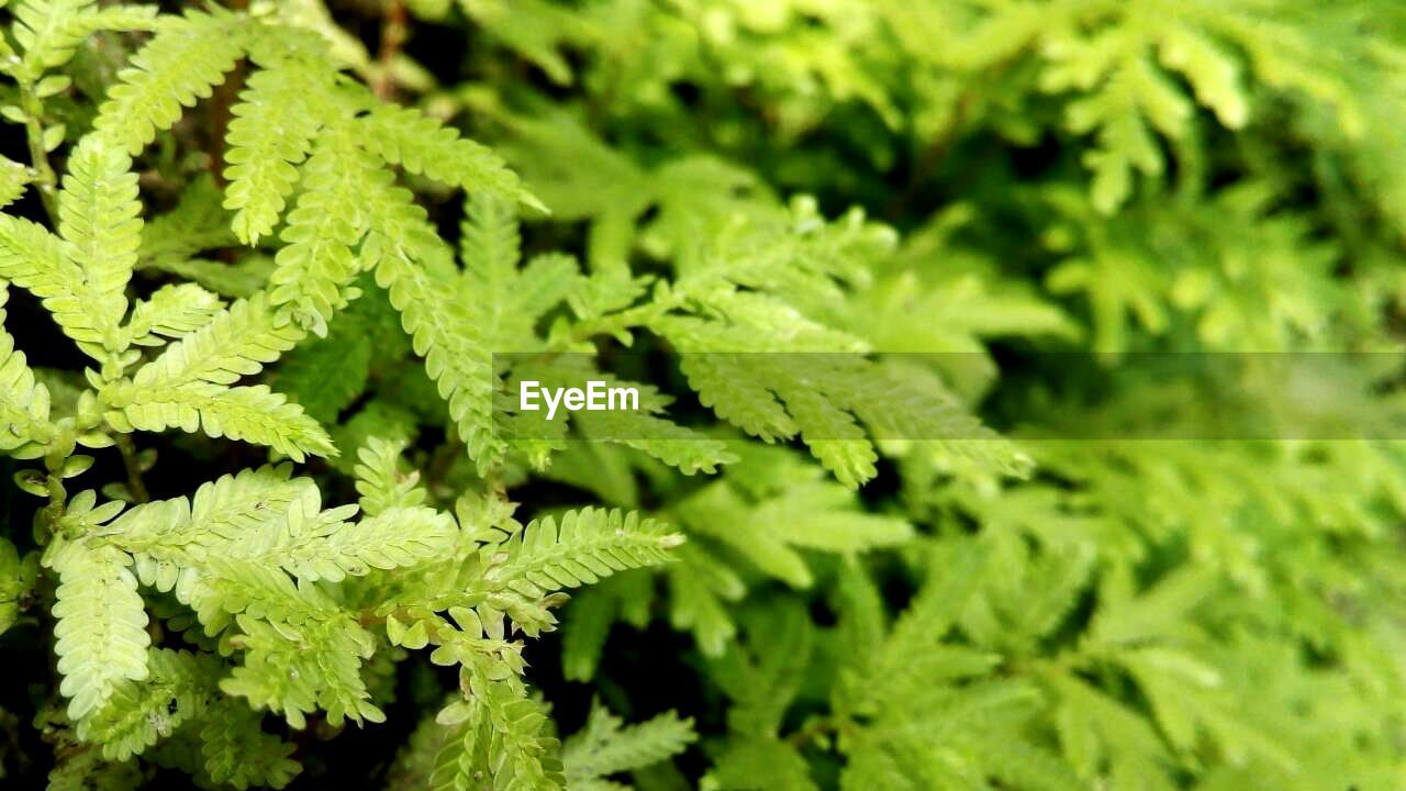 green color, leaf, growth, close-up, plant, day, nature, fern, no people, outdoors, backgrounds, beauty in nature, freshness