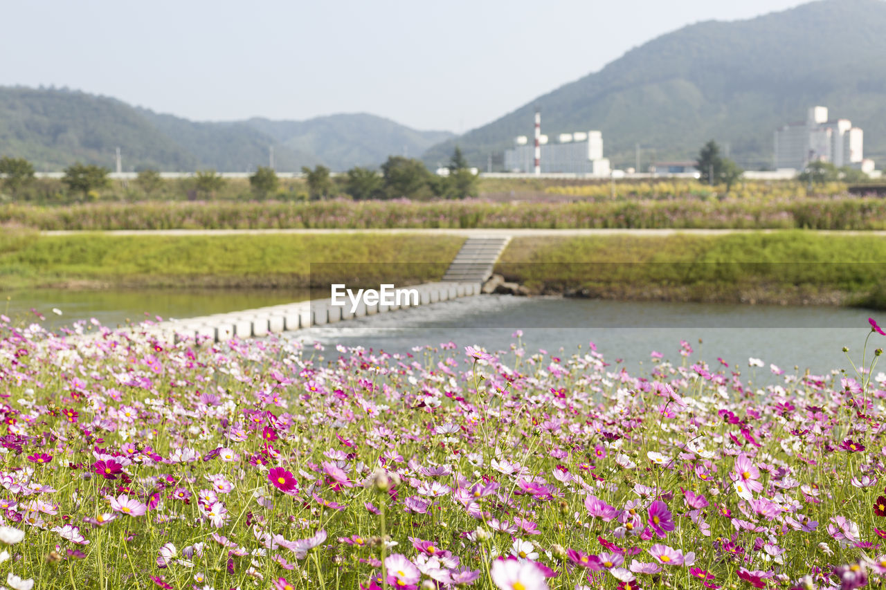 Pink flowering plants by river against sky