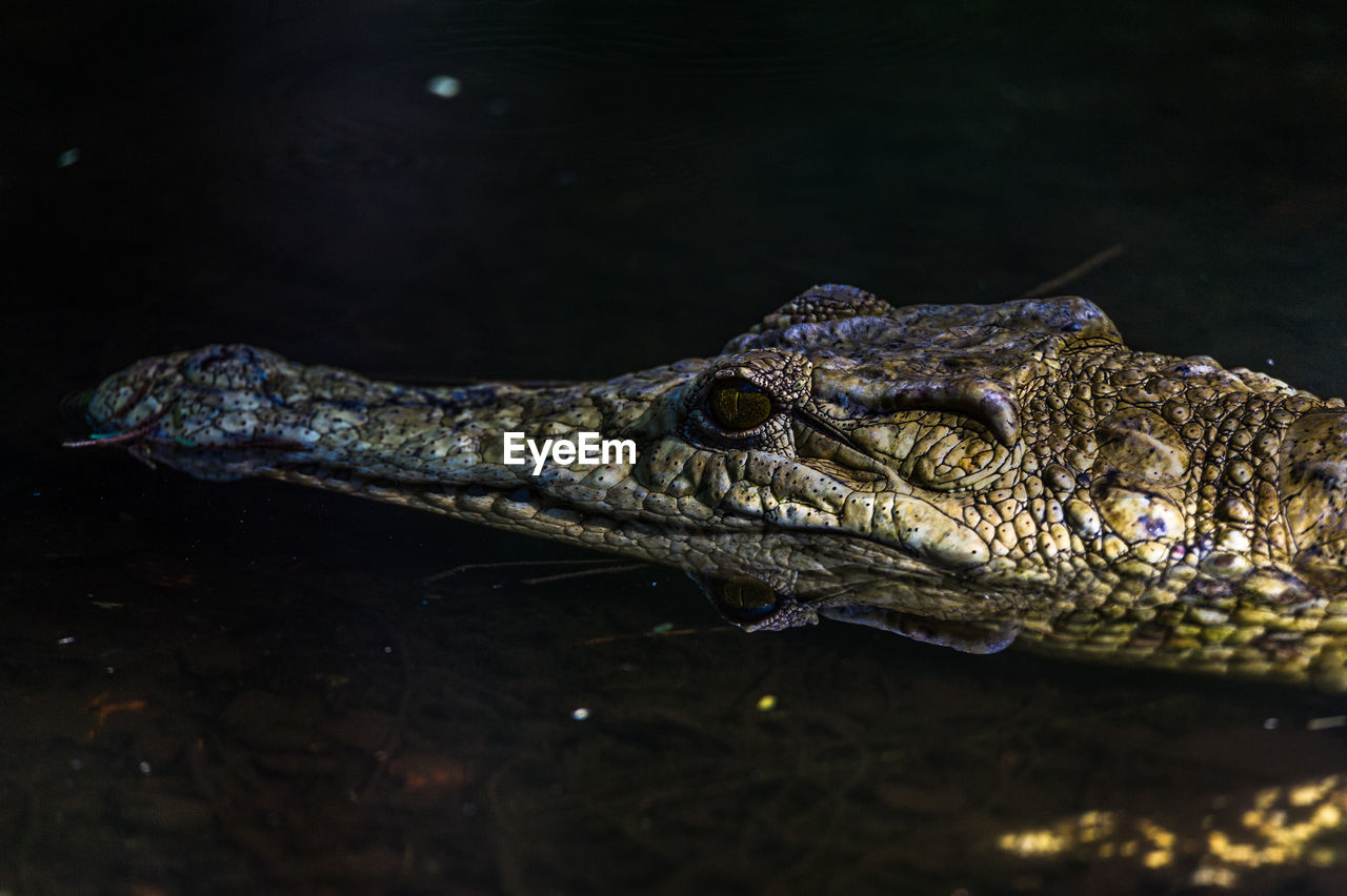 Crocodile In Water