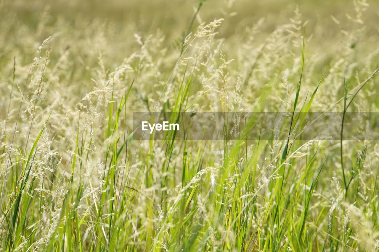 field, growth, agriculture, crop, nature, grass, cereal plant, farm, green color, tranquility, wheat, no people, day, rural scene, beauty in nature, plant, outdoors, ear of wheat, close-up, freshness