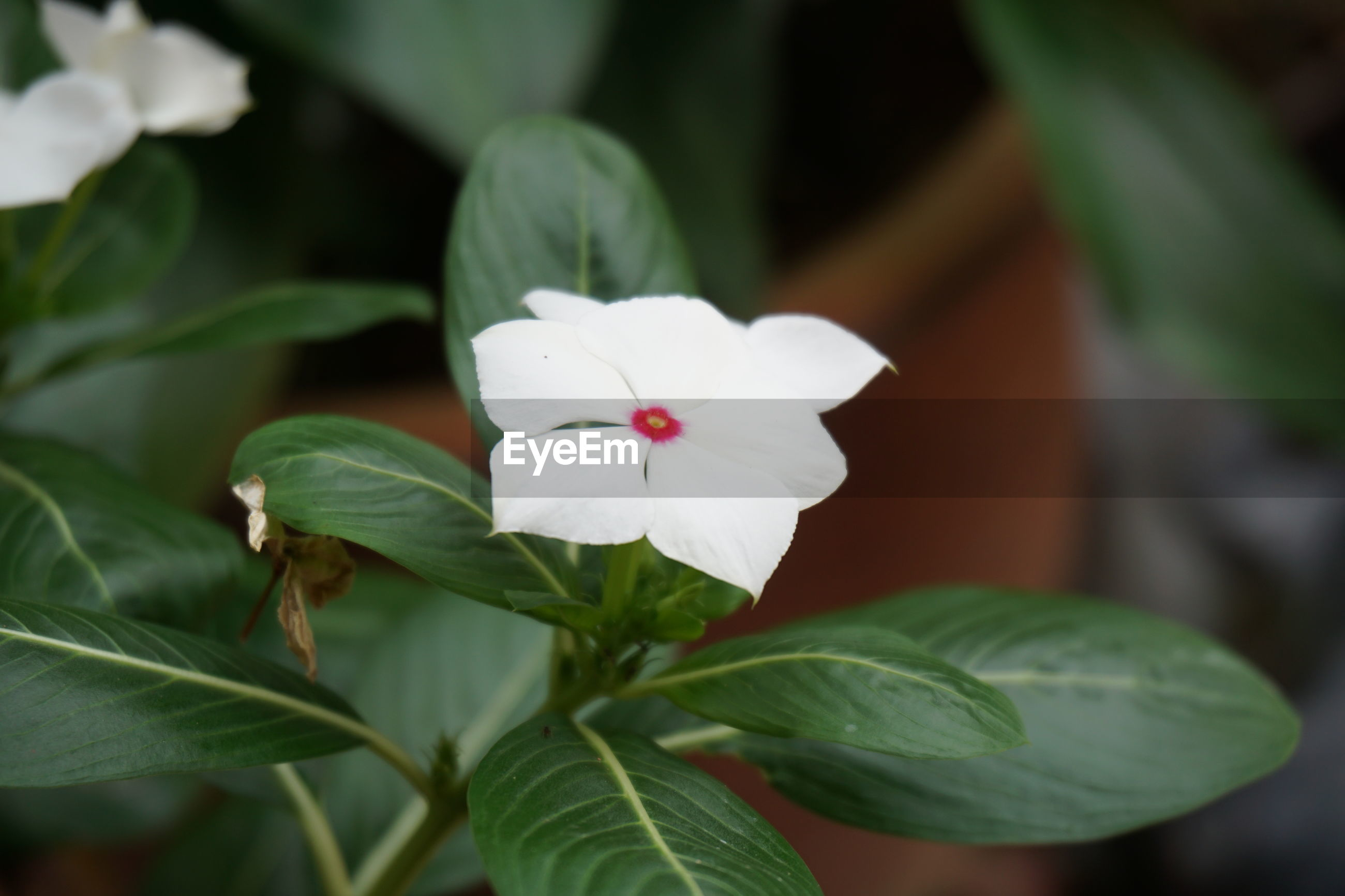 CLOSE-UP OF FRESH WHITE FLOWER BLOOMING IN PLANT