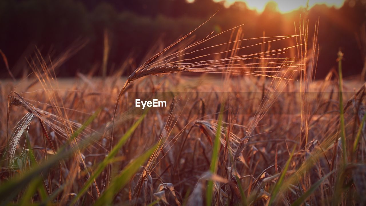 plant, growth, field, land, crop, cereal plant, agriculture, selective focus, nature, close-up, beauty in nature, day, farm, no people, tranquility, wheat, rural scene, grass, sunlight, focus on foreground, outdoors, stalk