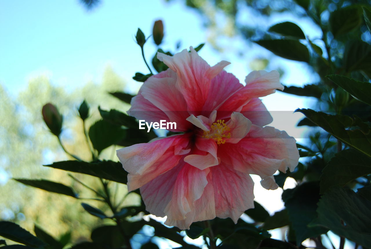 flower, petal, flower head, nature, beauty in nature, fragility, day, growth, no people, outdoors, hibiscus, pink color, close-up, blooming, freshness, periwinkle, sky