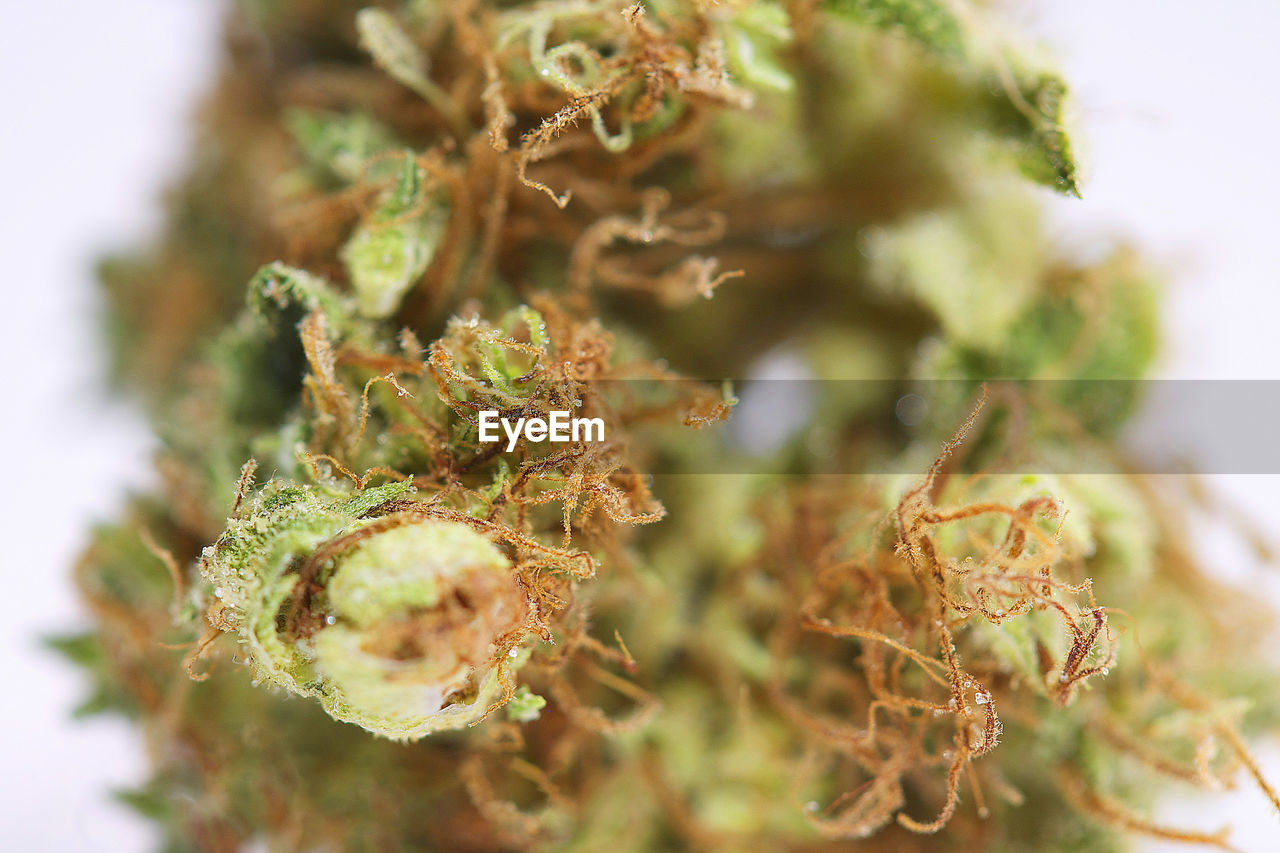 close-up, plant, selective focus, no people, healthcare and medicine, food and drink, marijuana - herbal cannabis, indoors, food, still life, cannabis plant, focus on foreground, nature, green color, cannabis - narcotic, day, narcotic, beauty in nature, freshness, snack
