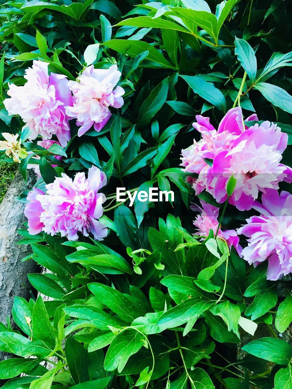 flowering plant, flower, plant, beauty in nature, vulnerability, fragility, petal, plant part, leaf, freshness, pink color, growth, close-up, nature, flower head, inflorescence, green color, day, no people, high angle view, outdoors, springtime, purple