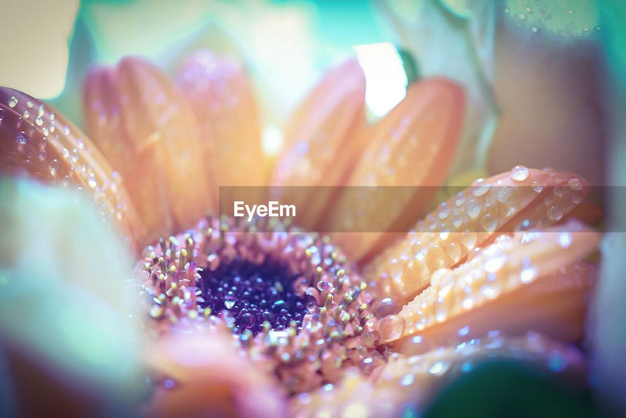 Close-Up Of Dew Drops On Orange Gerbera Daisy