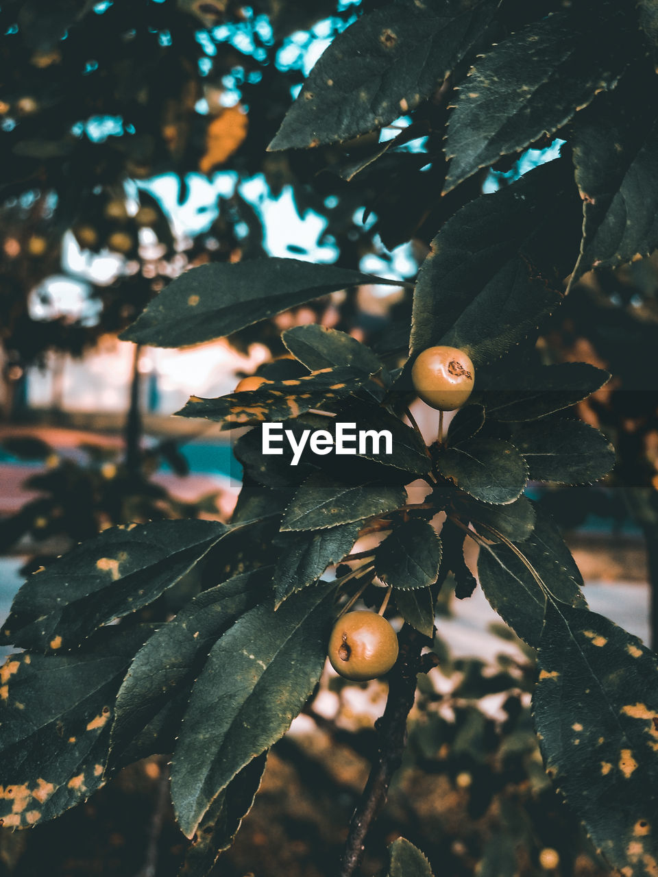 plant, tree, growth, focus on foreground, nature, close-up, leaf, day, plant part, beauty in nature, fruit, no people, branch, healthy eating, outdoors, food, food and drink, freshness, tranquility, green color