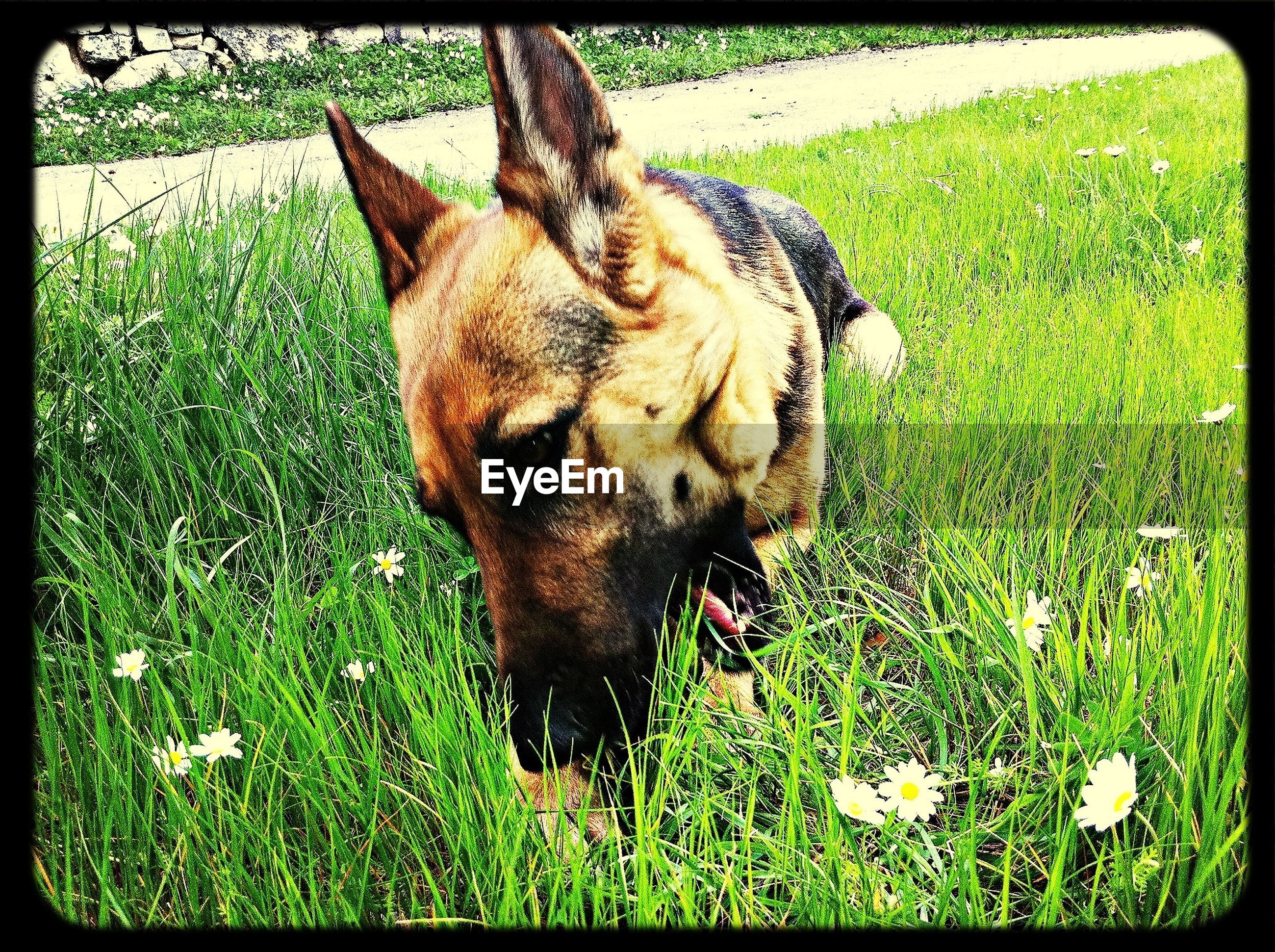 animal themes, one animal, domestic animals, mammal, transfer print, grass, pets, field, auto post production filter, dog, grassy, standing, sunlight, no people, zoology, day, outdoors, full length, animal head, brown