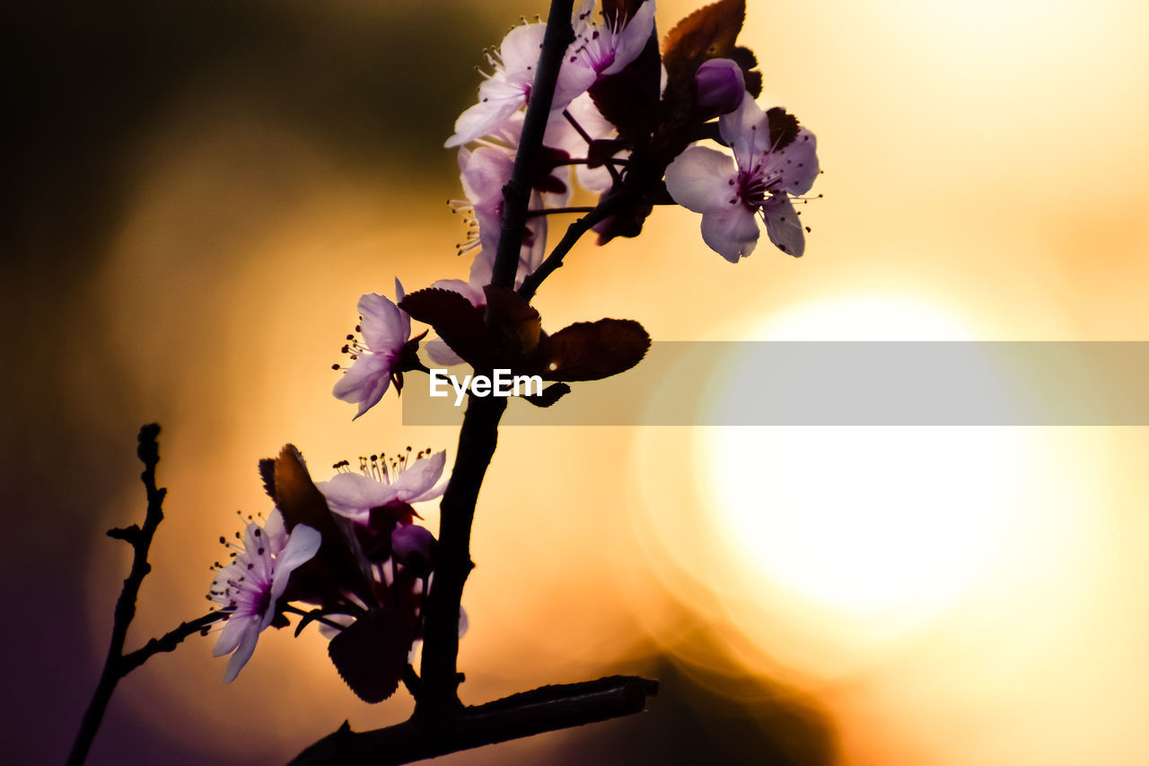 flowering plant, flower, beauty in nature, plant, freshness, vulnerability, fragility, growth, petal, nature, flower head, inflorescence, close-up, purple, no people, sunset, springtime, botany, sky, outdoors, pollen