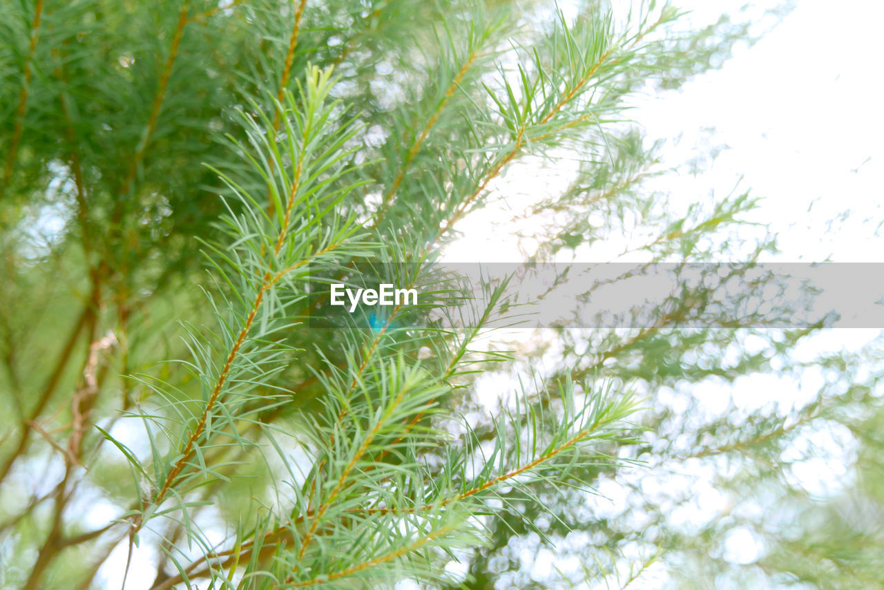 growth, plant, green color, tree, nature, day, beauty in nature, no people, leaf, close-up, low angle view, plant part, outdoors, palm tree, branch, tranquility, sky, freshness, focus on foreground, backgrounds, palm leaf, fir tree, coniferous tree