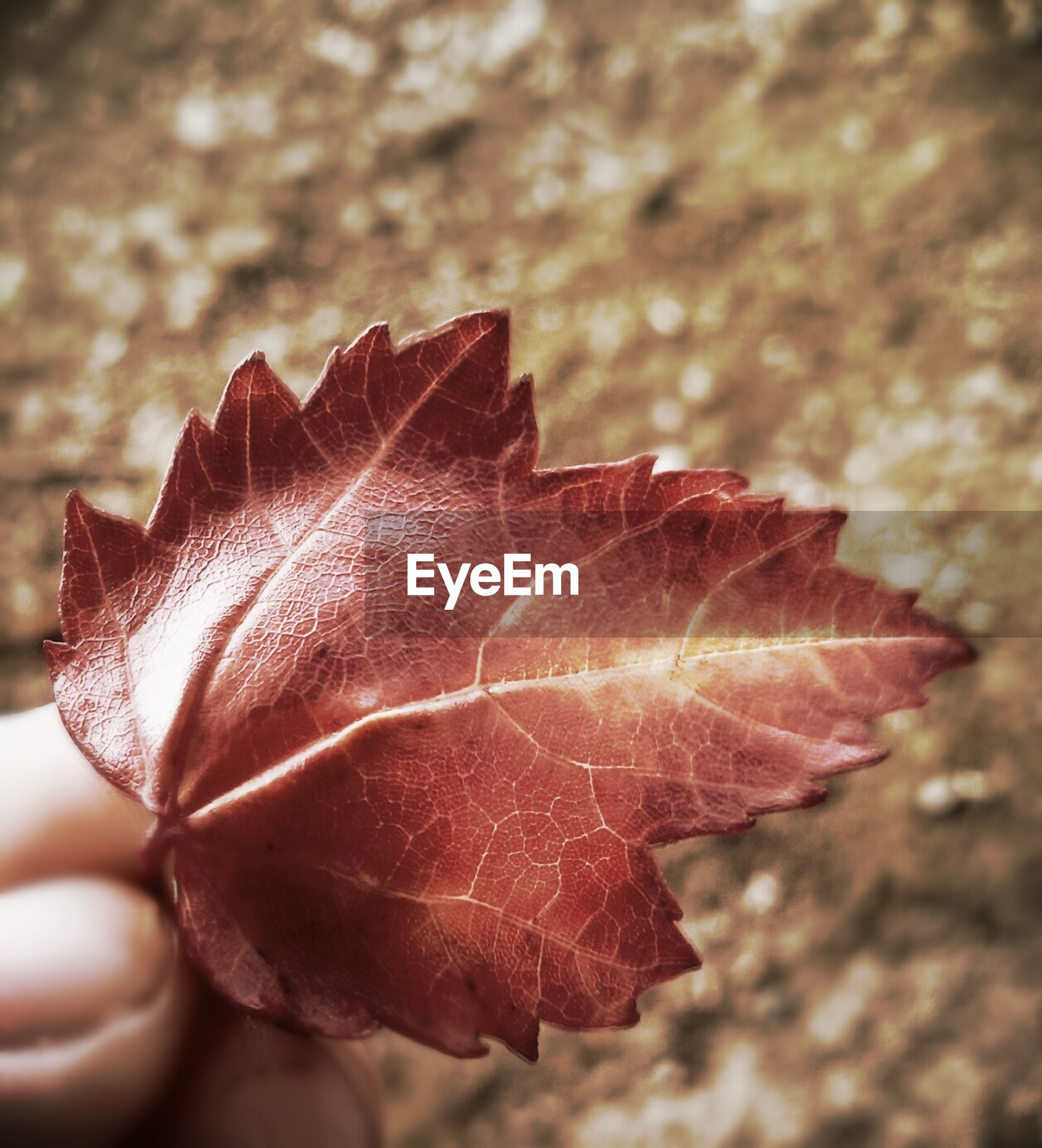 close-up, leaf, leaf vein, fragility, focus on foreground, natural pattern, nature, dry, beauty in nature, season, red, change, autumn, outdoors, wet, selective focus, day, maple leaf, no people, orange color