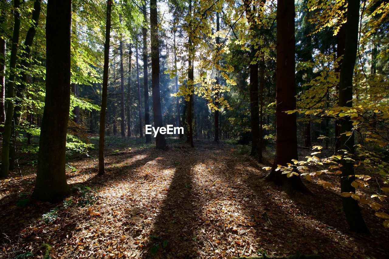 tree, forest, land, plant, autumn, nature, tree trunk, trunk, beauty in nature, tranquility, woodland, growth, the way forward, direction, tranquil scene, change, day, plant part, scenics - nature, leaf, no people, outdoors, diminishing perspective, leaves, autumn collection, fall