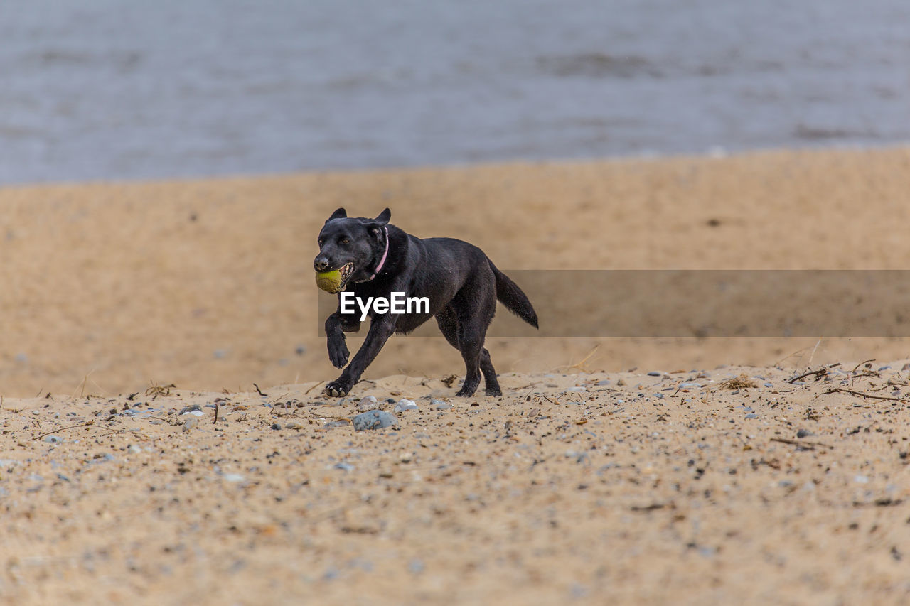 Black dog holding ball in mouth while running at beach