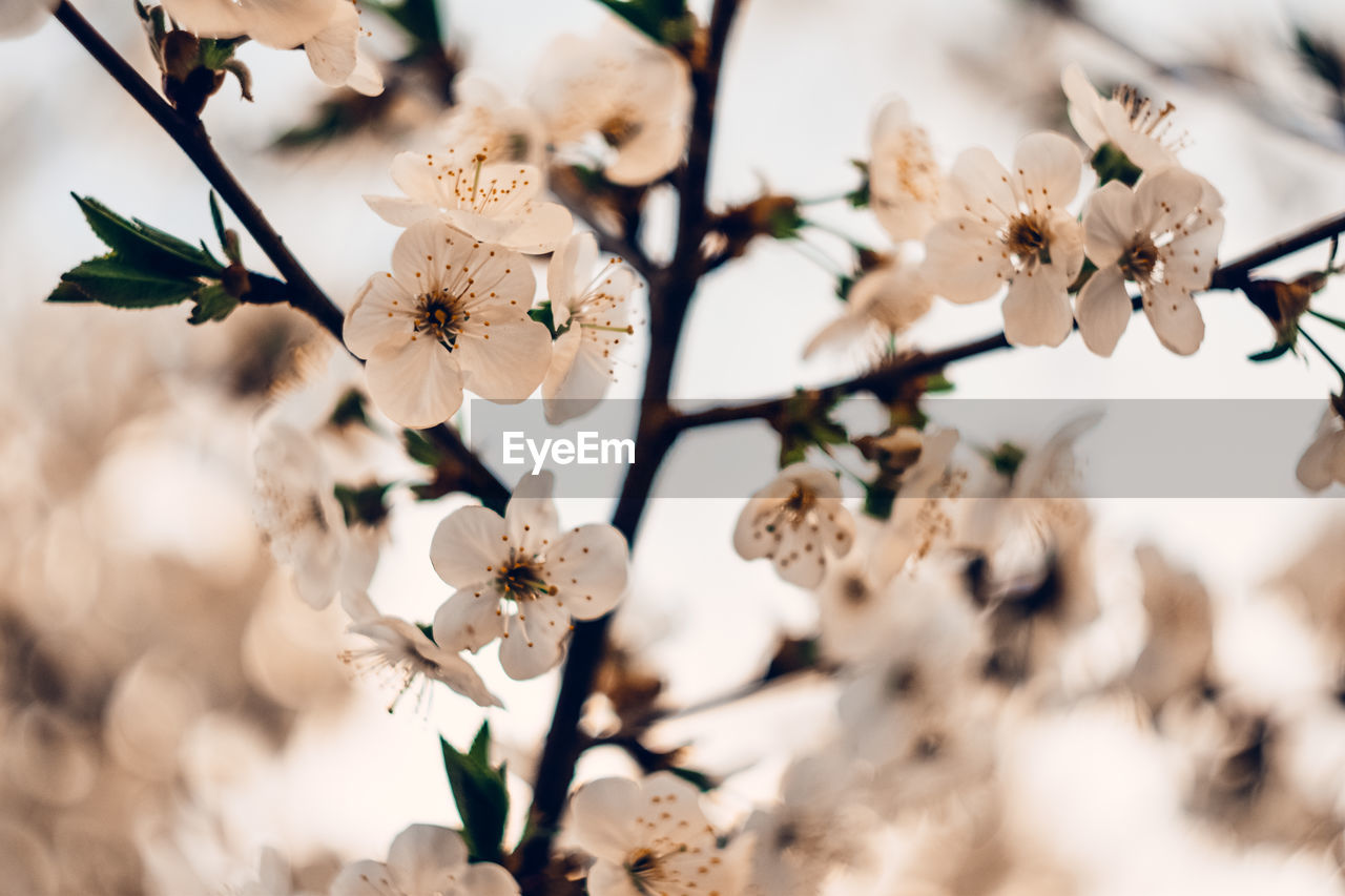 flowering plant, plant, flower, freshness, fragility, growth, beauty in nature, vulnerability, white color, tree, petal, flower head, selective focus, close-up, springtime, inflorescence, blossom, nature, no people, focus on foreground, pollen, cherry blossom, cherry tree