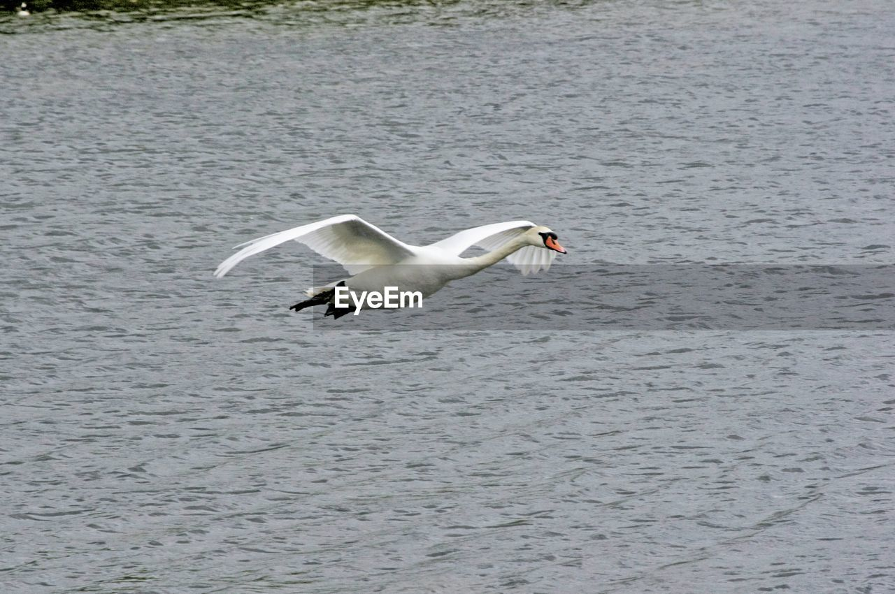 one animal, animals in the wild, animal themes, waterfront, bird, nature, water, animal wildlife, spread wings, day, flying, no people, outdoors, swan