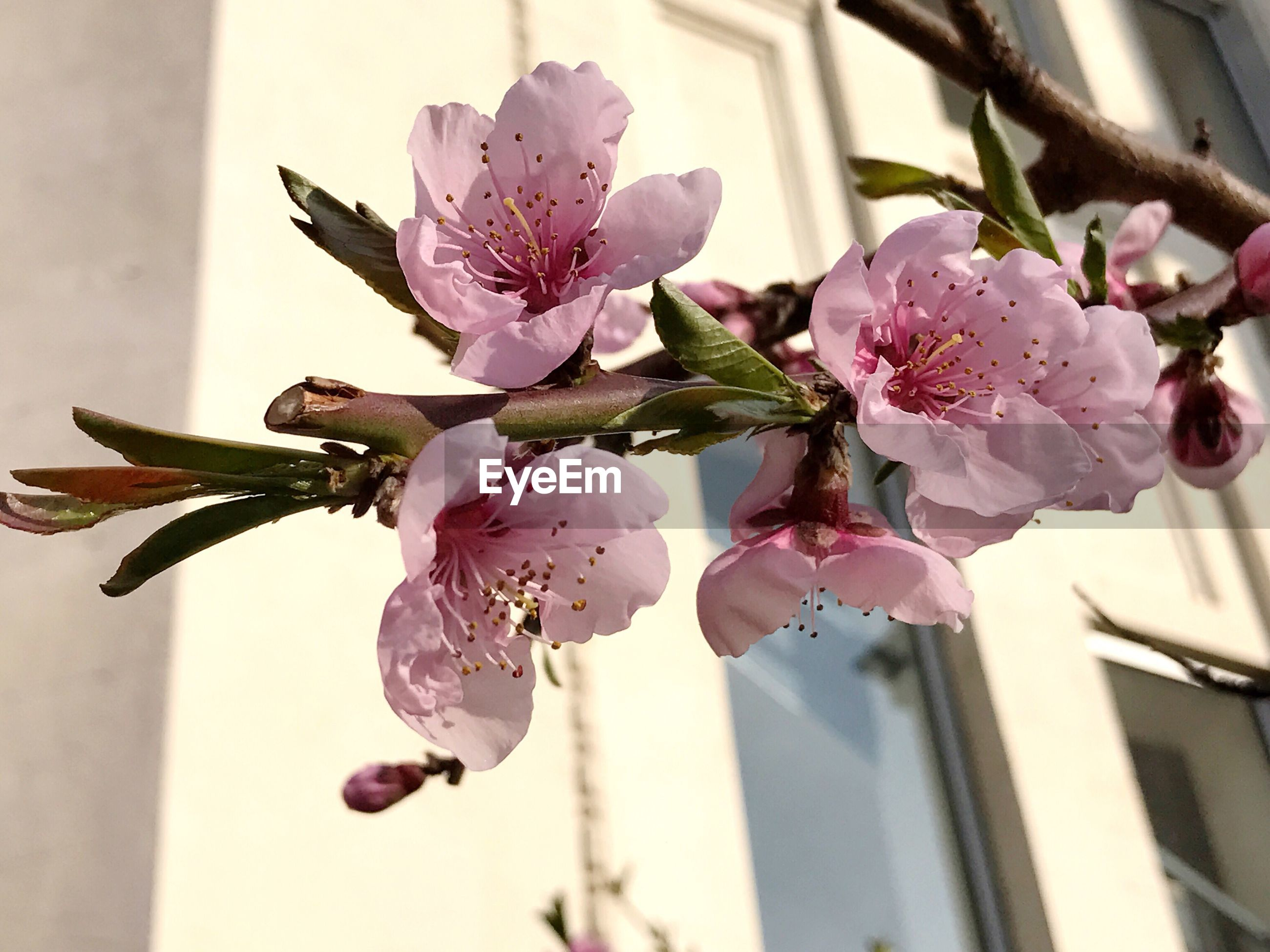 CLOSE-UP OF FRESH PINK FLOWERS BLOOMING IN BRANCH