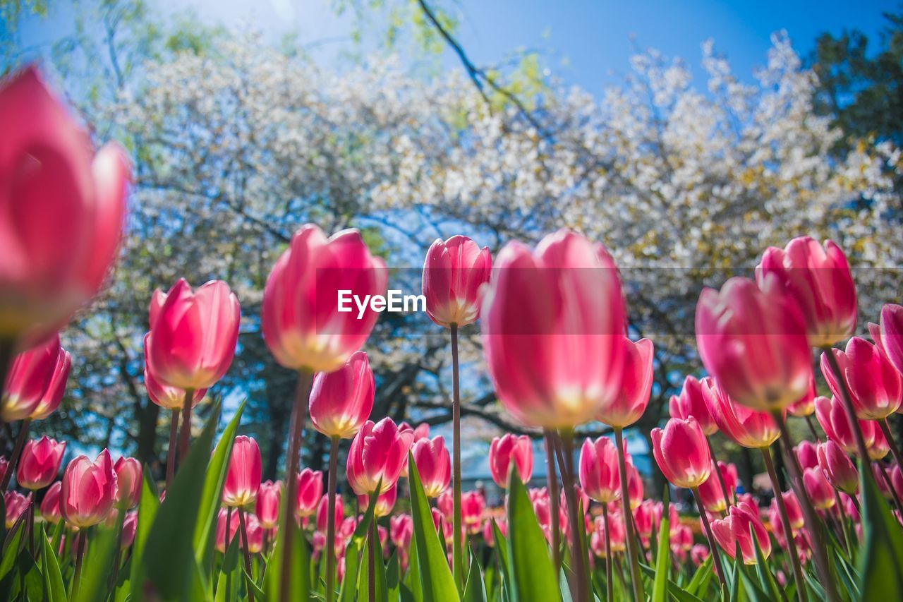 flower, flowering plant, plant, fragility, beauty in nature, vulnerability, freshness, close-up, petal, growth, pink color, nature, tulip, selective focus, day, inflorescence, flower head, land, no people, field, outdoors, springtime